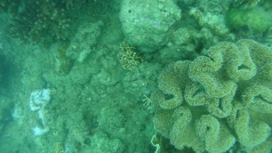 Honeycomb grouper hiding under some coral